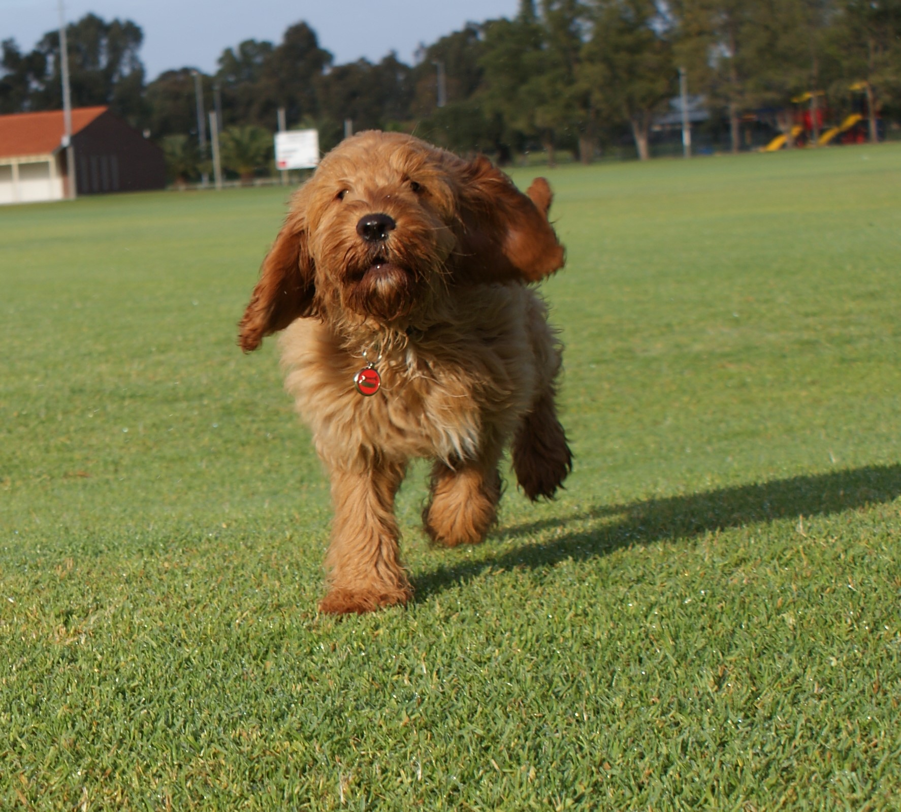 dog running, therapy dog