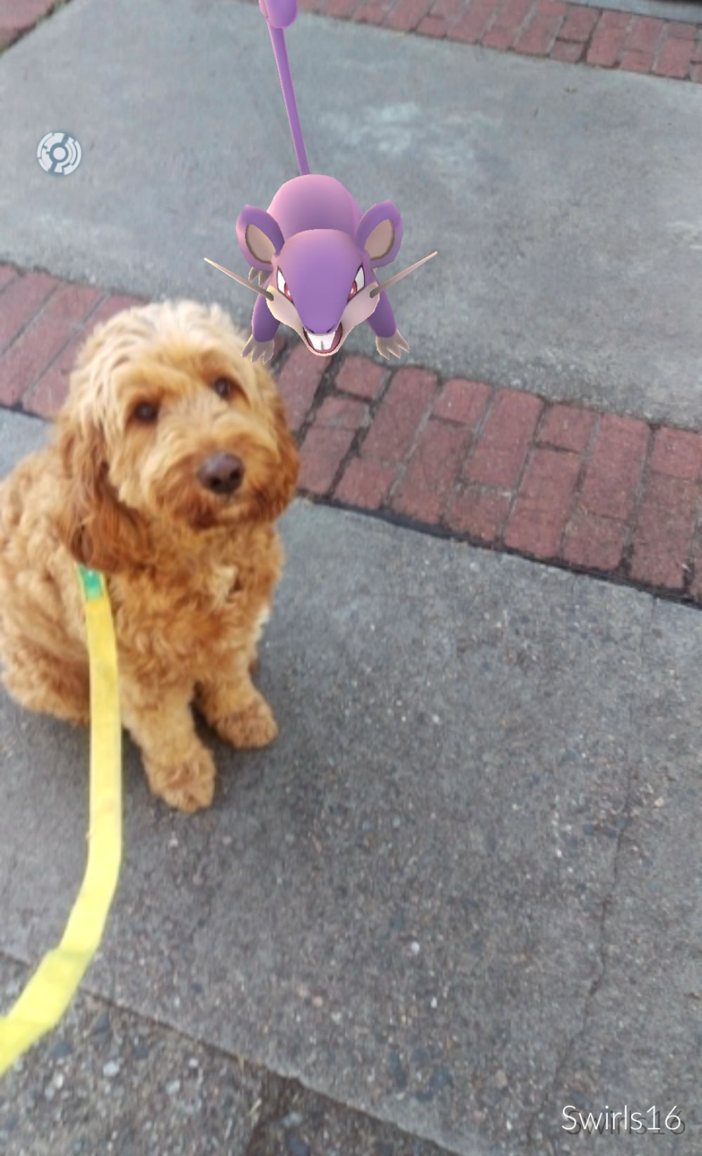 image of George the Therapy dog with a PokemonGo Rattata